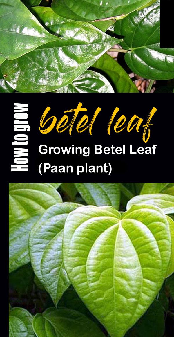 betel leaf plant | Growing Betel Leaf | Paan
