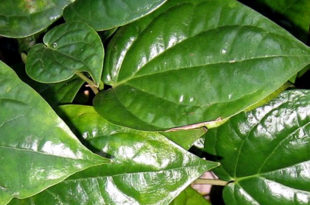 betel leaf plant | Growing Betel Leaf (Paan)