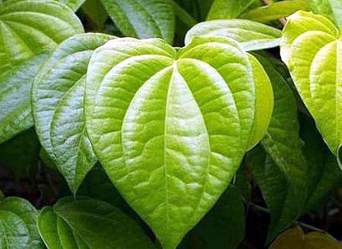 betel leaf plant | Growing Betel Leaf (Paan leaf)