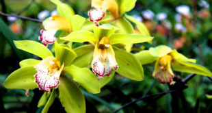 Orchids care | Orchid flower care