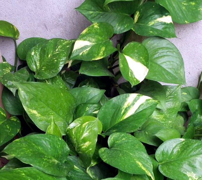 Feng Shui Plants | Houseplant | indoor plants | NASA plants