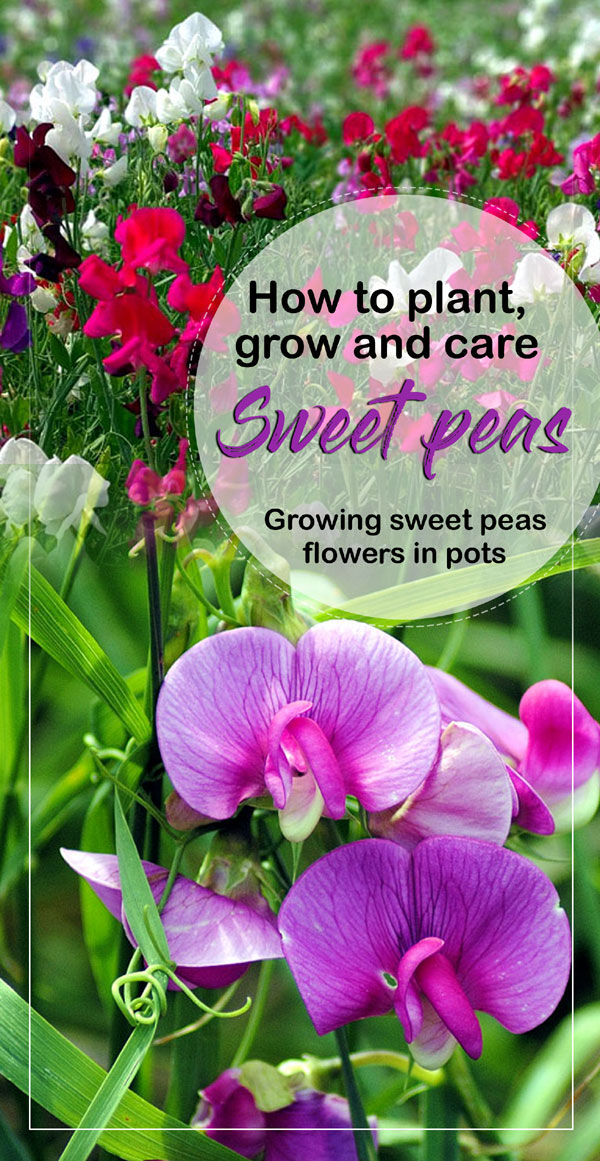 sweet peas | Growing sweet peas