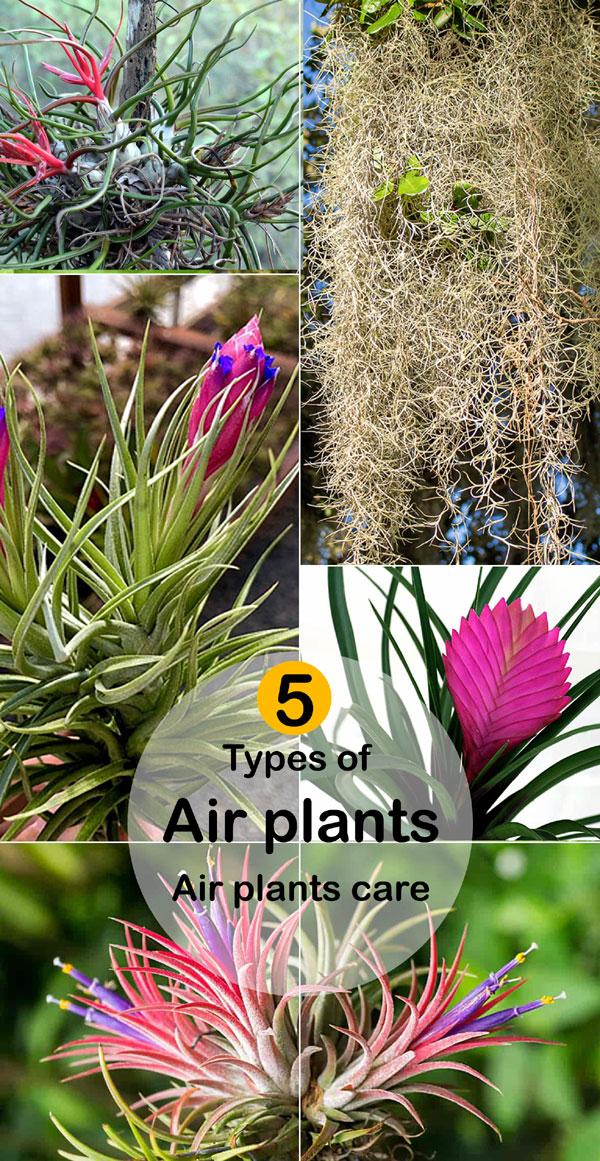 5 types of air plants | air plants care | Tillandsia | sky plants
