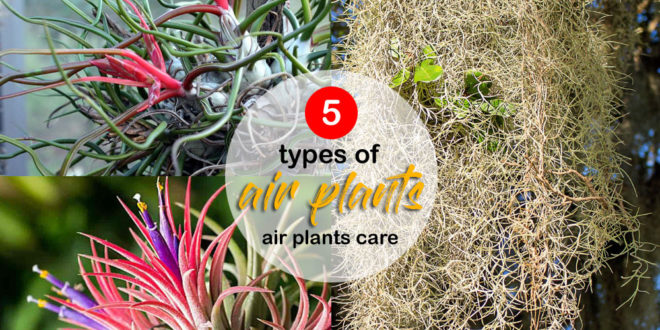 types of air plants | air plants care | Tillandsia