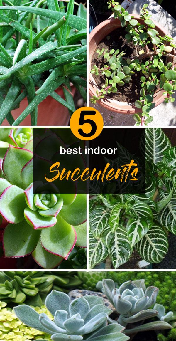 best indoor succulents | types of succulents | Succulent plant