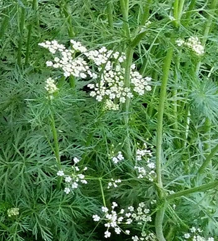 Cumin herb | Growing cumin | Jeera