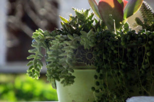 best indoor succulents | types of succulents | Succulent plant