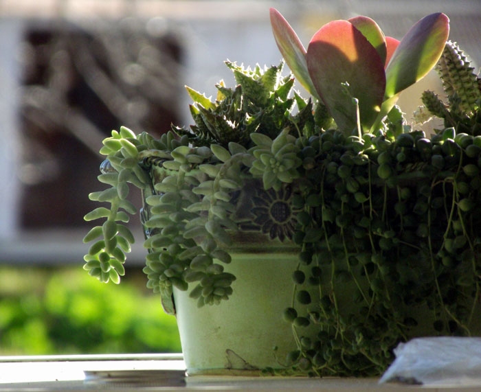 5 best indoor succulents | types of succulents
