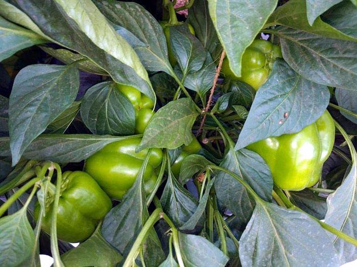 vegetable growing in pots