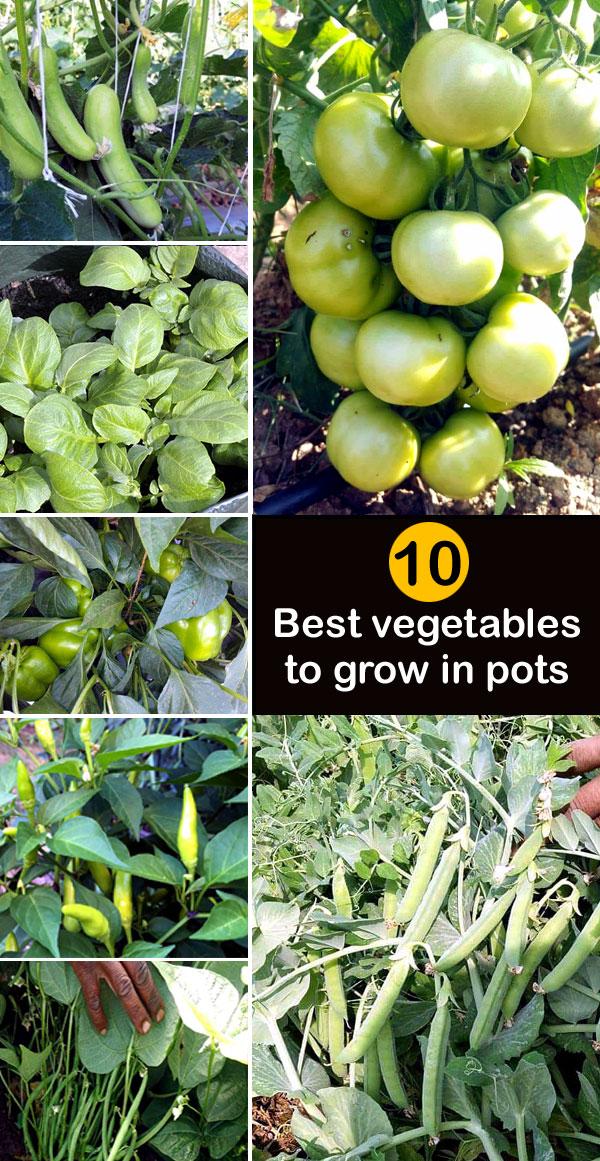 Best vegetables to grow in pots | vegetable in container garden | vegetable growing in pots