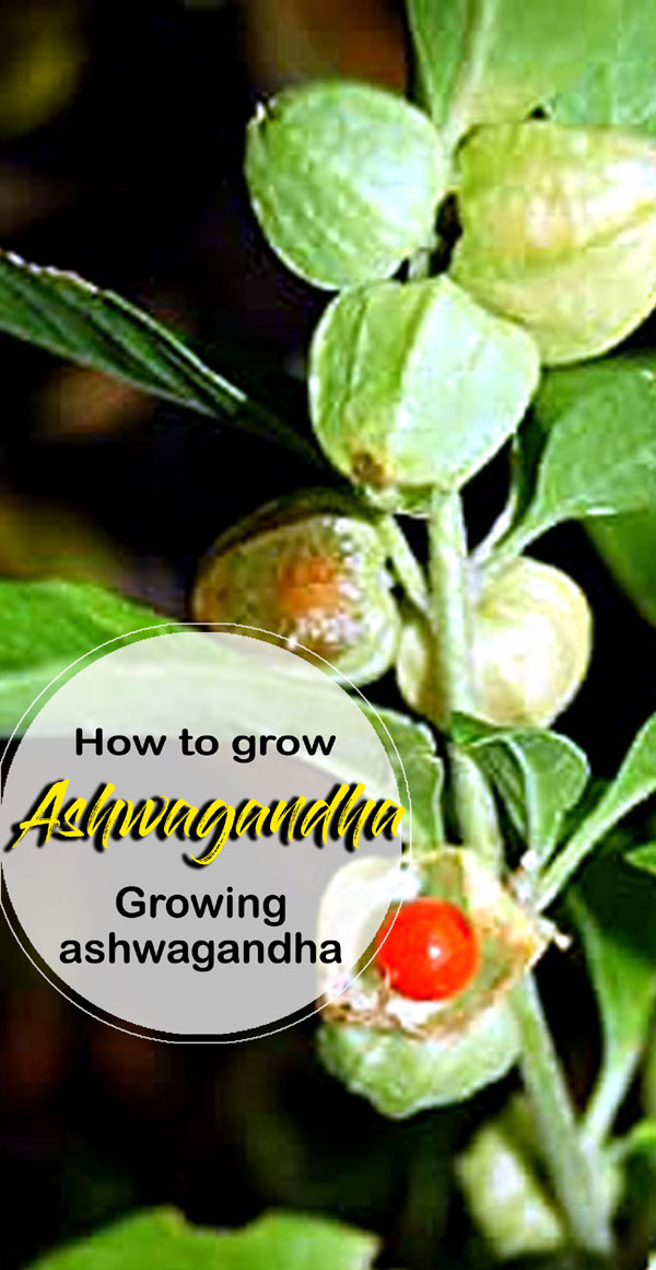 How to grow Ashwagandha | Growing ashwagandha