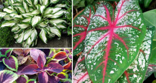 09 Best foliage plants for your gardens | leaf plants for containers