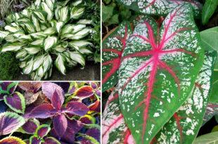 foliage plants   leaf plants
