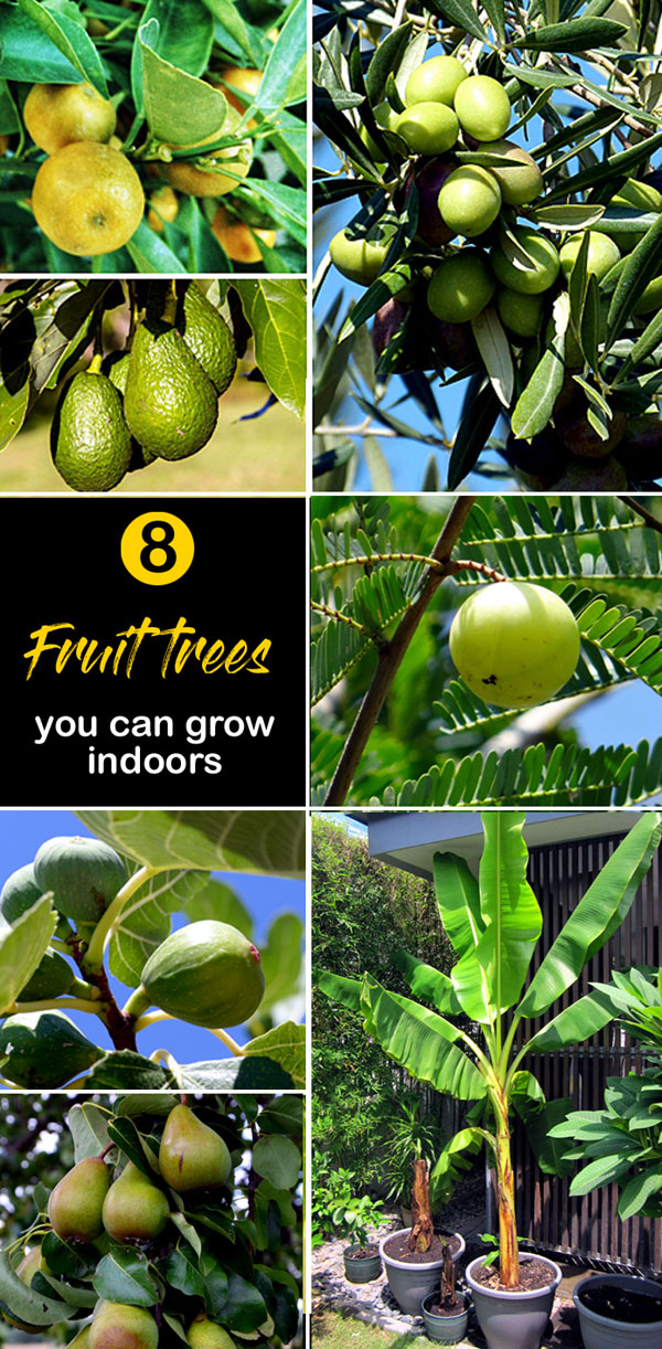 Fruit trees you can grow indoors | Growing Fruit Trees Indoors | indoor trees