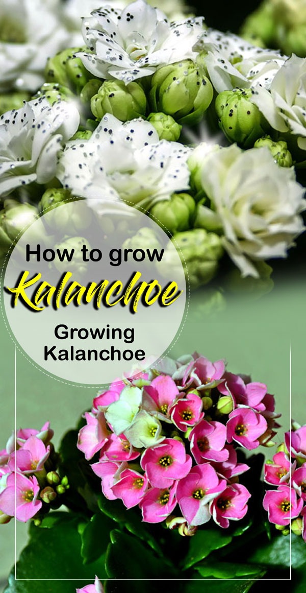 Kalanchoe | growing Kalanchoe | kalanchoe care