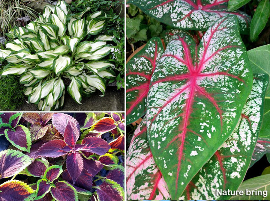 09 leaf plants for containers | Best foliage plants for your gardens