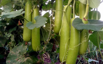 Growing Bottle gourd