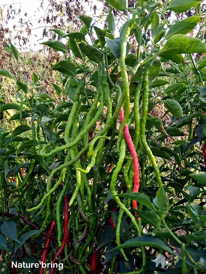 Hot Peppers | Chillies