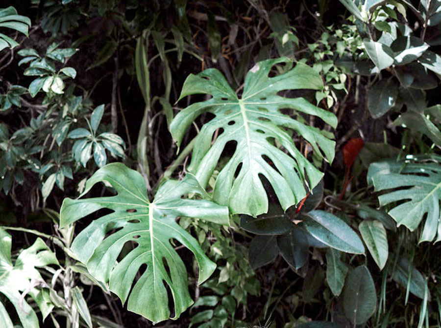 How to grow Monstera Deliciosa | Monstera plant Care