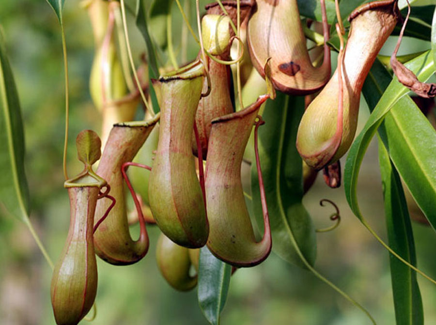 Growing Pitcher Plant | Pitcher Plant | Insect Eating Plant