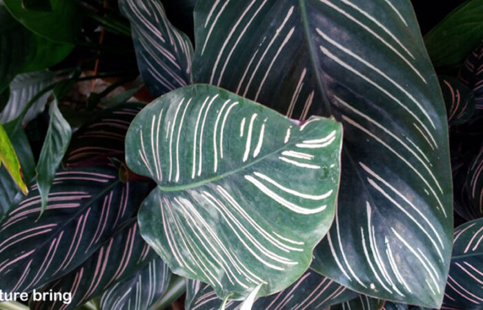 Calathea plant care