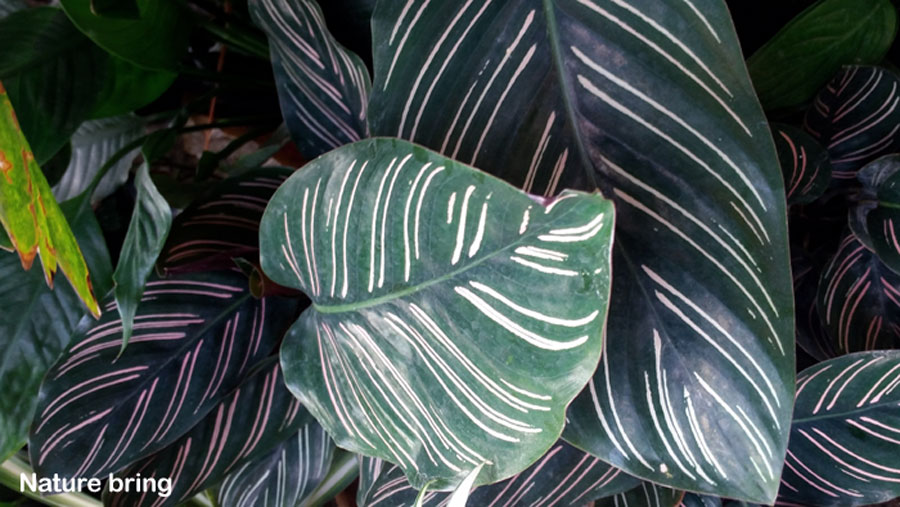 How to grow a Calathea | Calathea plant care
