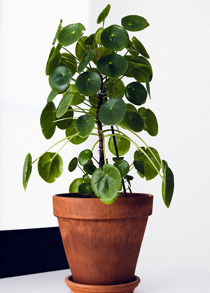 indoor plants Pilea Peperomioides