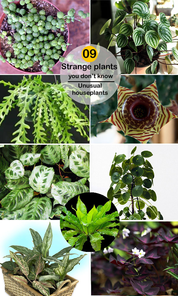 indoor plants | succulent | Unusual houseplants