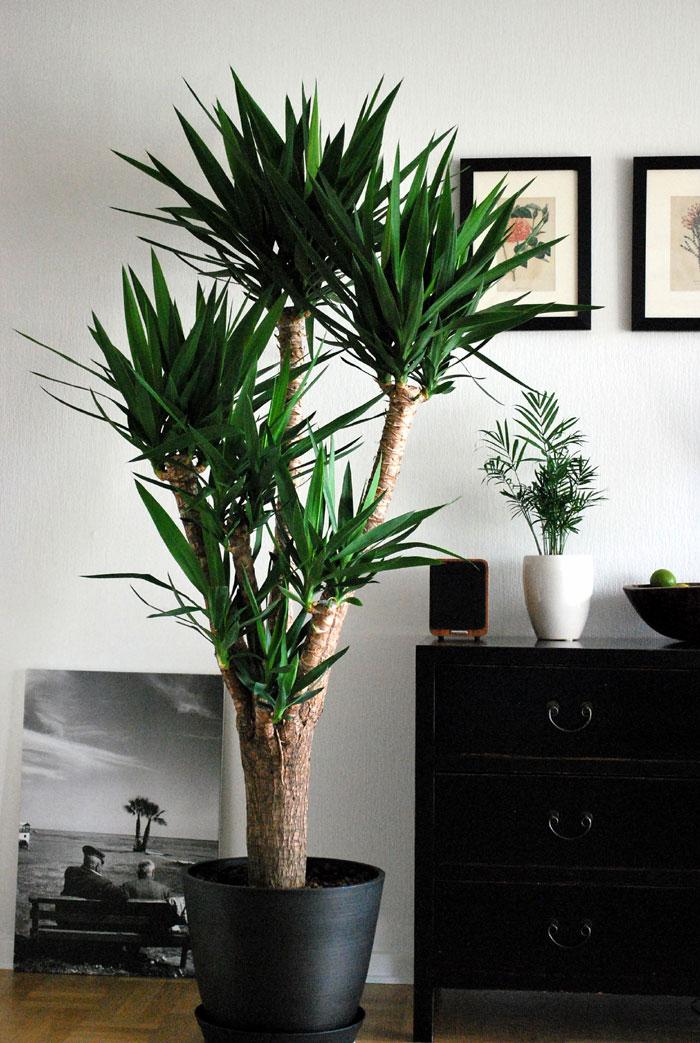 Yucca plants care