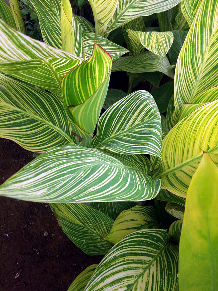 How to grow a Calathea