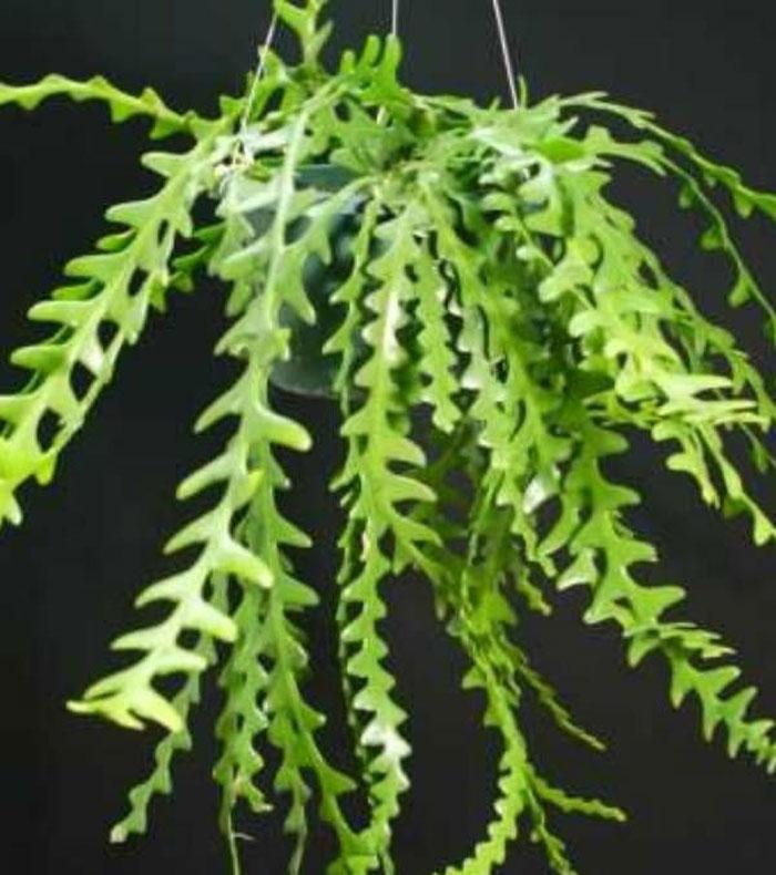 Fishbone Cactus