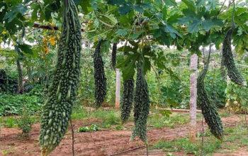 Growing Bitter gourd