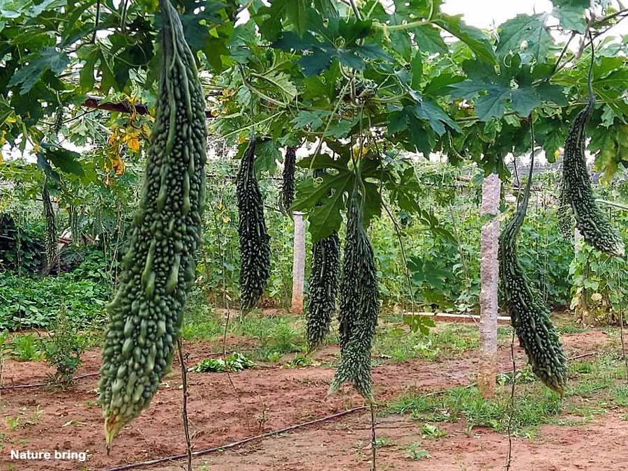 How to grow Bitter melon | Growing Bitter gourd | Momordica charantia