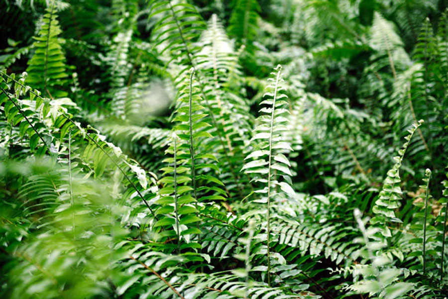 How to Grow and Care Boston Fern | Growing ferns
