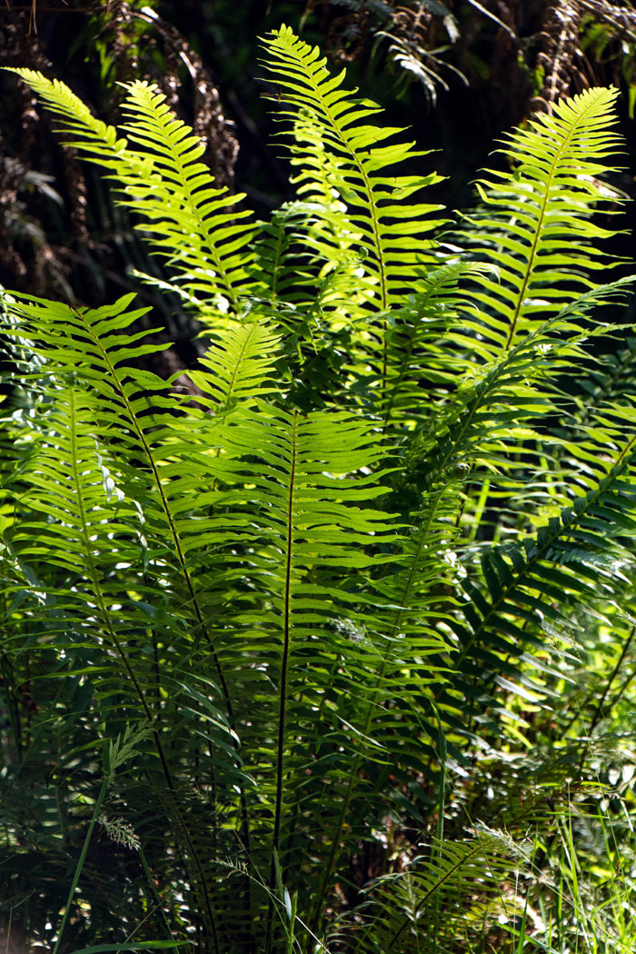Growing ferns