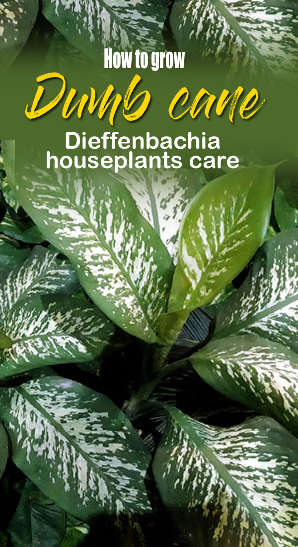 How to grow Dieffenbachia | Dumb cane care | dieffenbachia seguine
