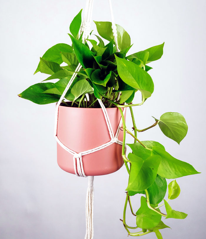 Golden pothos | Pothos varieties