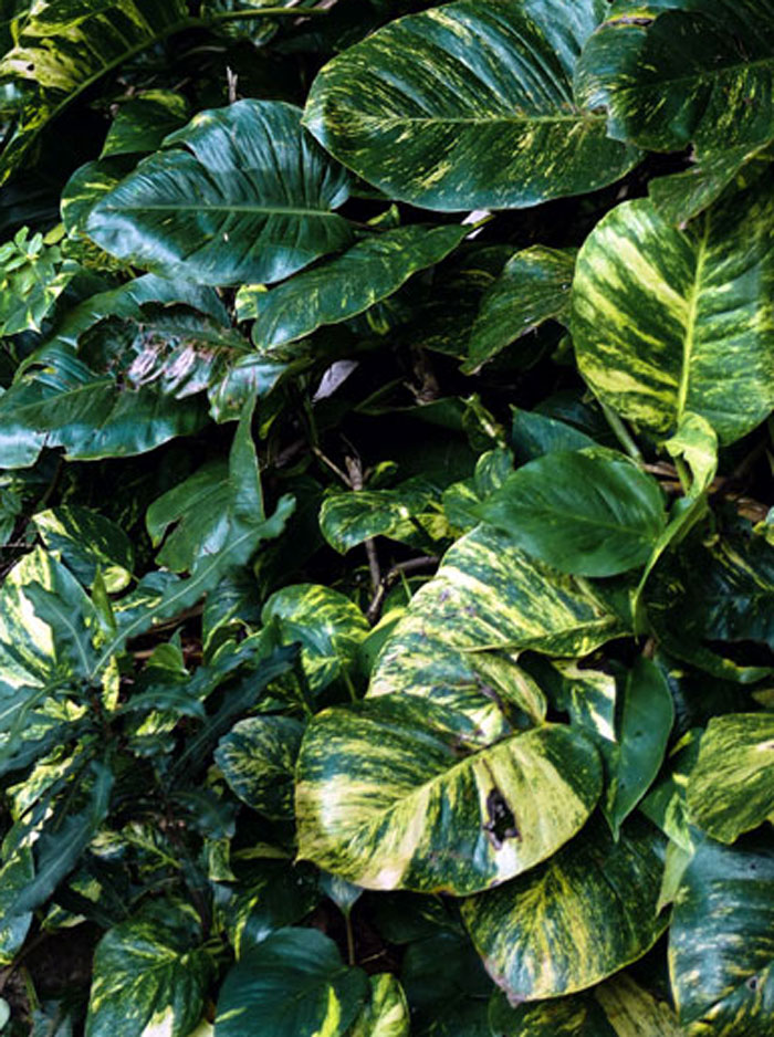 types of pothos | Hawaiian pothos