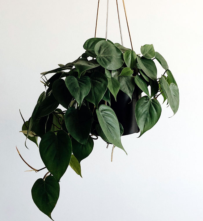 Pearls and Jade Pothos | Pothos varieties