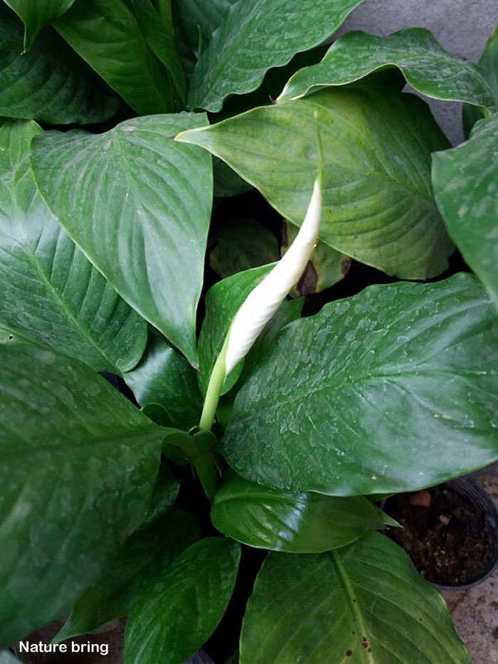 Growing Peace lily plant