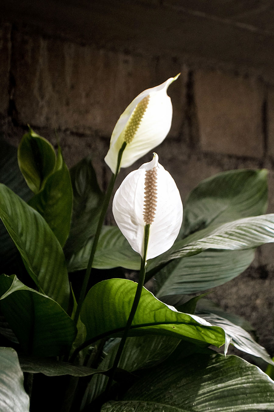 Growing Peace lily plant | Peace lily care | Spathiphyllum