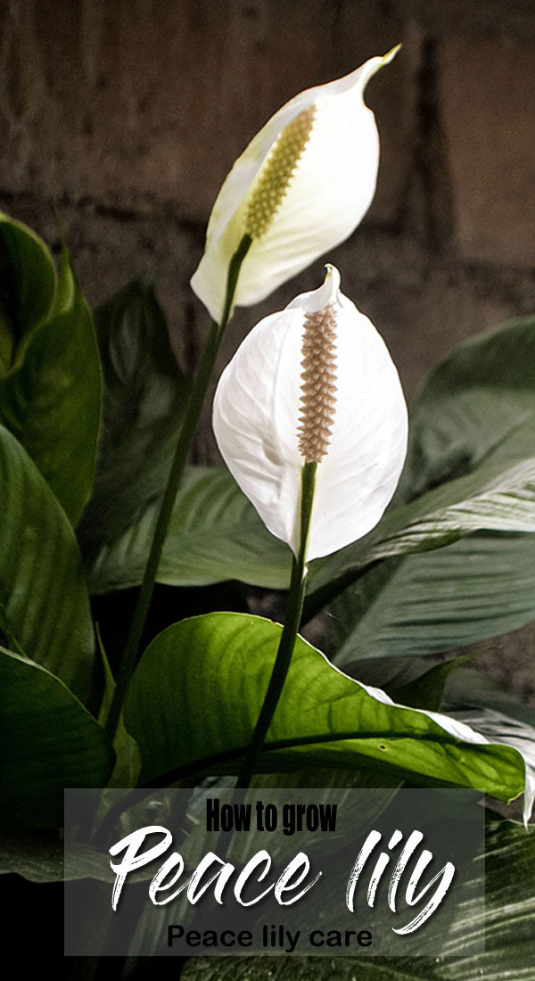 Growing Peace lily plant | Spathiphyllum