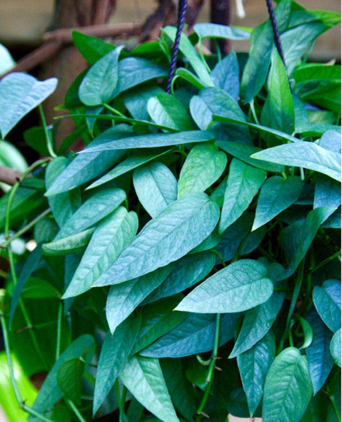 Cebu Blue Pothos | Pothos varieties
