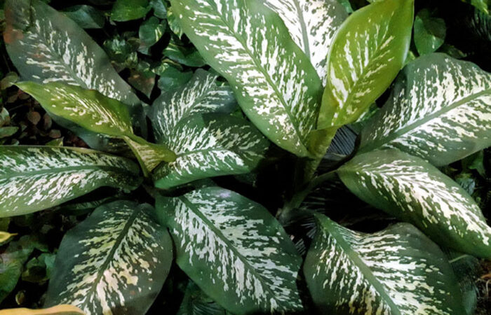 Dieffenbachia houseplants