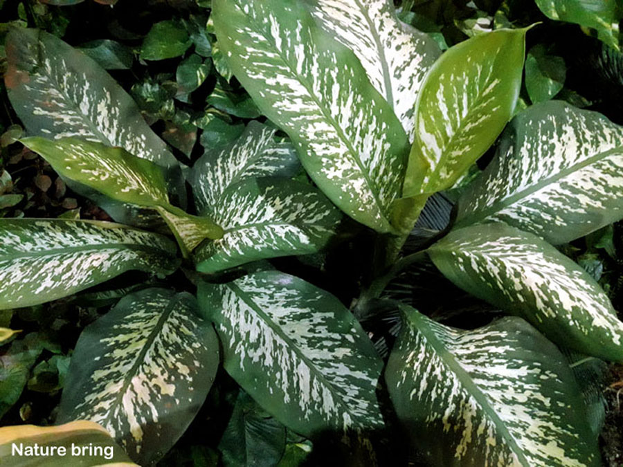 How to grow Dieffenbachia houseplants | Dumb cane care