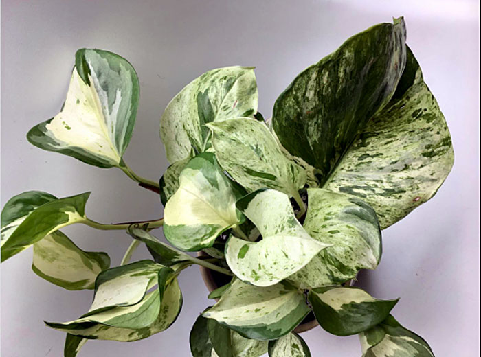 Manjula Pothos | Pothos varieties