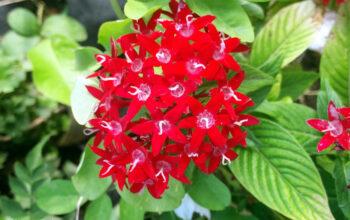 Pentas flower