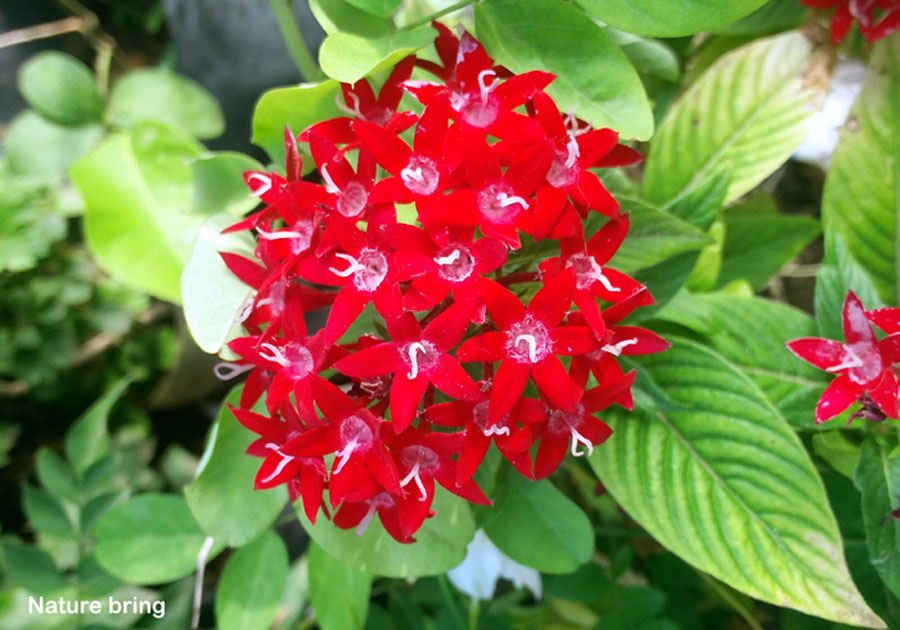 How to grow Pentas flower | Pentas plant care | Pentas lanceolata