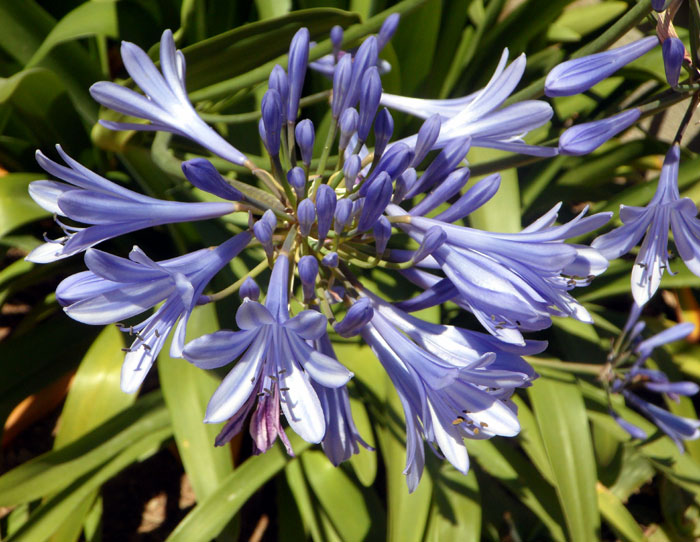 Agapanthus Flowers | lily of the nile