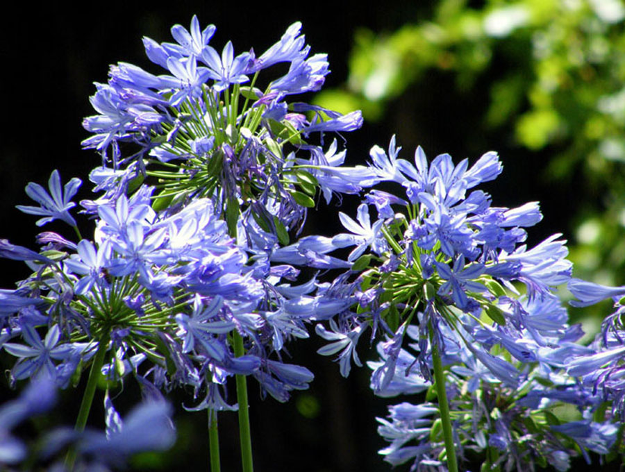 Agapanthus Flowers | How to grow Agapanthus (African lily)